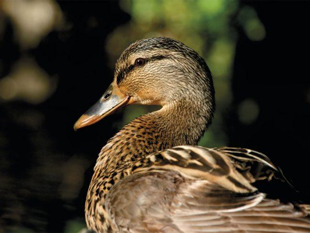 Popowodzi kaczkom się powodzi